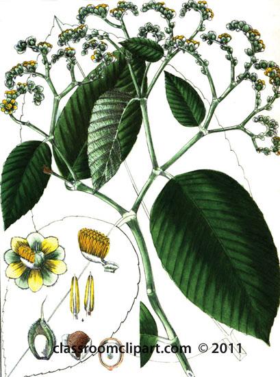 plant-illustration-DILLANACAE.jpg