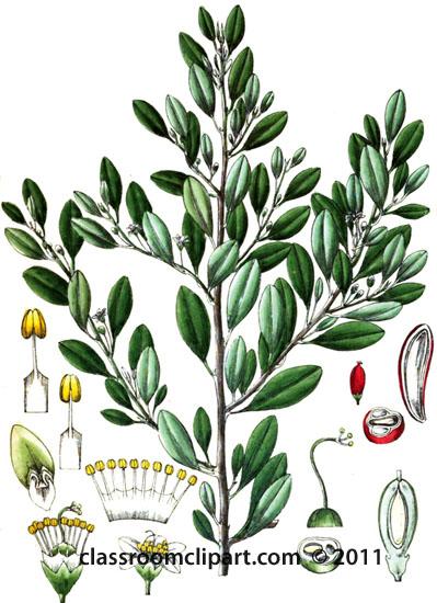 plant-illustration-aerythrozyleae.jpg