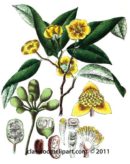 plant-illustration-annonaceae.jpg