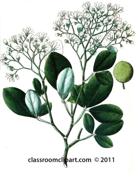 plant-illustration-aurantiaceae-3.jpg