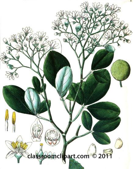 plant-illustration-aurantiaceae.jpg