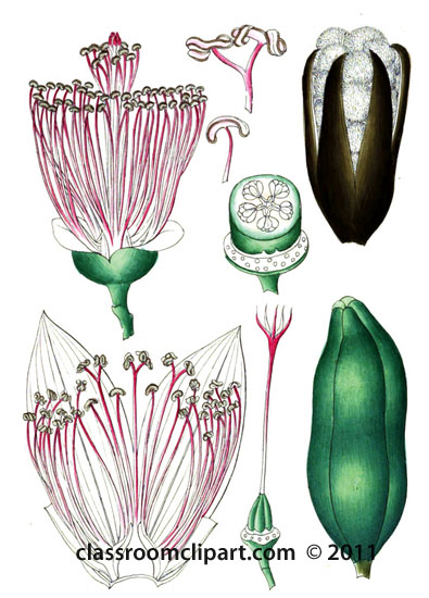 plant-illustration-bombaceae-3.jpg