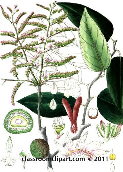 plant-illustration-dipterocarpeae-4.jpg