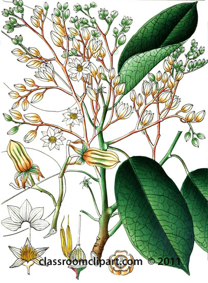 plant-illustration-dipterocarpeae.jpg