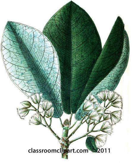 plant-illustration-elaeocarpeae-2.jpg