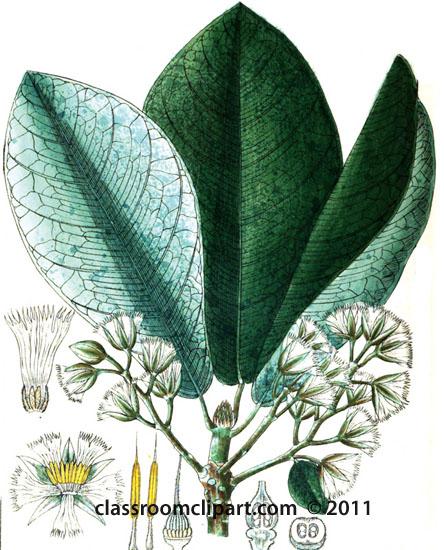 plant-illustration-elaeocarpeae.jpg