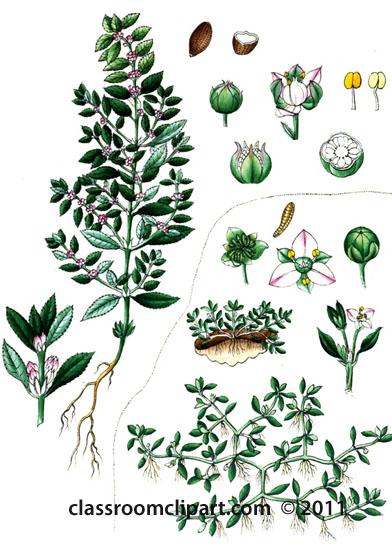 plant-illustration-elatineae.jpg