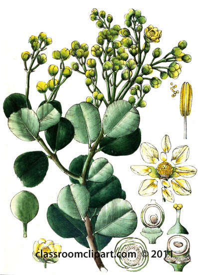 plant-illustration-guttiferae-4.jpg