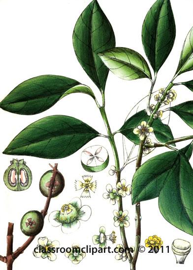 plant-illustration-guttiferae.jpg
