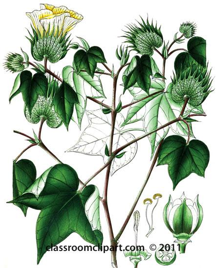 plant-illustration-malvaceae-3.jpg