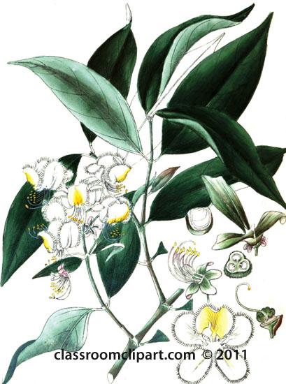 plant-illustration-malvaceae-4.jpg