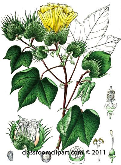plant-illustration-malvaceae-5.jpg