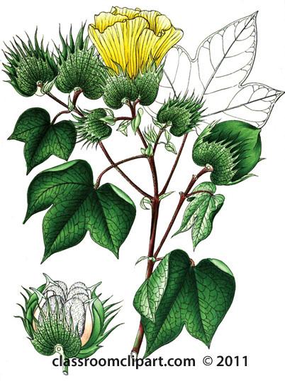 plant-illustration-malvaceae-6.jpg