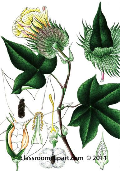 plant-illustration-malvaceae.jpg