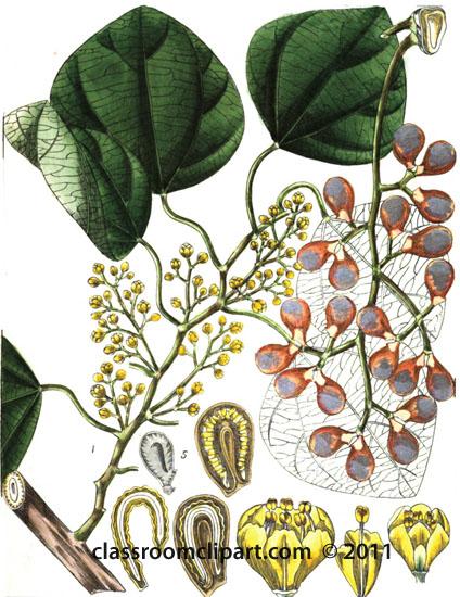 plant-illustration-menispermaceae.jpg