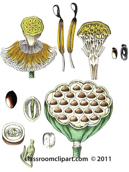 plant-illustration-nelumbiaceae-1.jpg