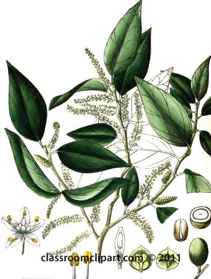plant-illustration-olacinaea.jpg