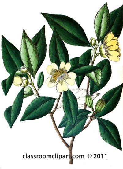 plant-illustration-ternstrcemiaceae-3.jpg