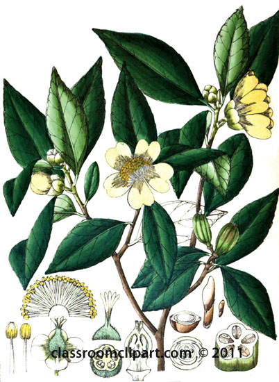 plant-illustration-ternstrcemiaceae.jpg
