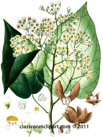 plant-illustration-tiliaceae-3.jpg
