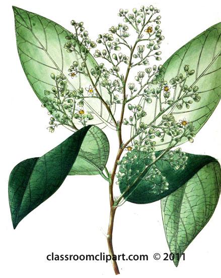 plant-illustration-tiliaceae.jpg