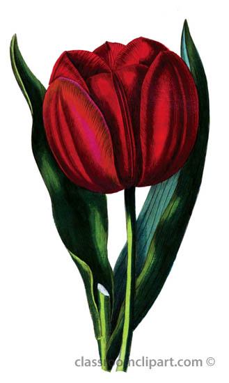 red-tulip-illustration-34A.jpg