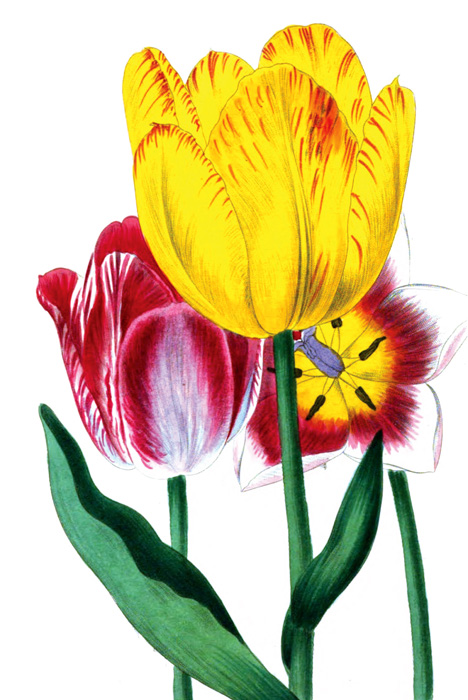 tulip-red-yellow-pink_33A.jpg
