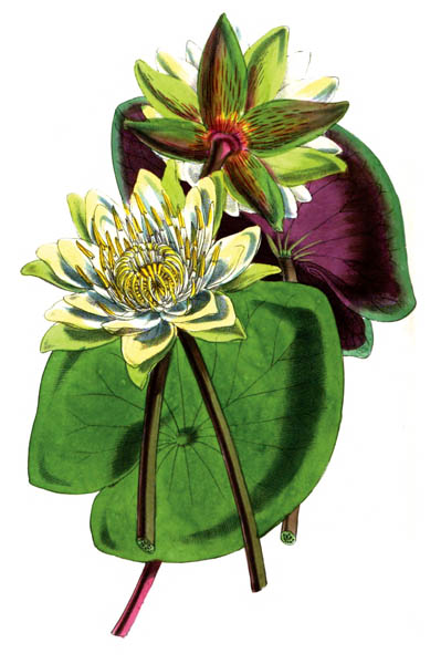 water_lilly_botanical_plant_71A.jpg