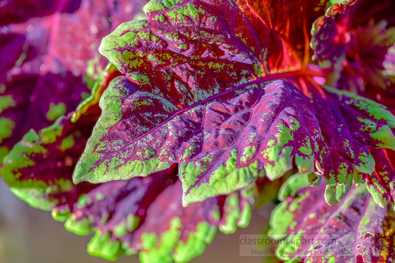 bright-colors-of-coleus-plant-closeup-of-leaves-photo-image-344.jpg