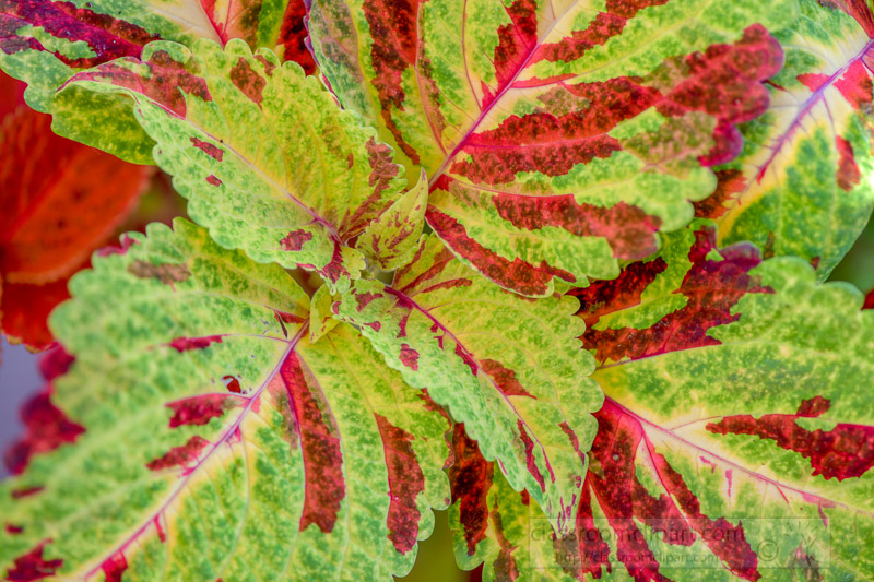 bright-colors-of-coleus-plant-closeup-of-leaves-photo-image-345.jpg