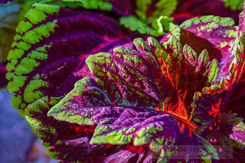 bright-colors-of-coleus-plant-closeup-of-leaves-photo-image-347.jpg