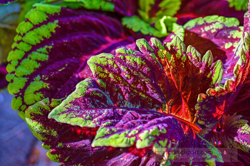 bright-colors-of-coleus-plant-closeup-of-leaves-photo-image-348.jpg