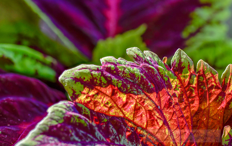 bright-colors-of-coleus-plant-closeup-of-leaves-photo-image-351.jpg