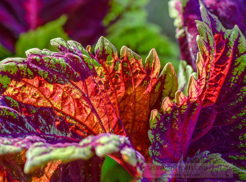 bright-colors-of-coleus-plant-closeup-of-leaves-photo-image-353.jpg