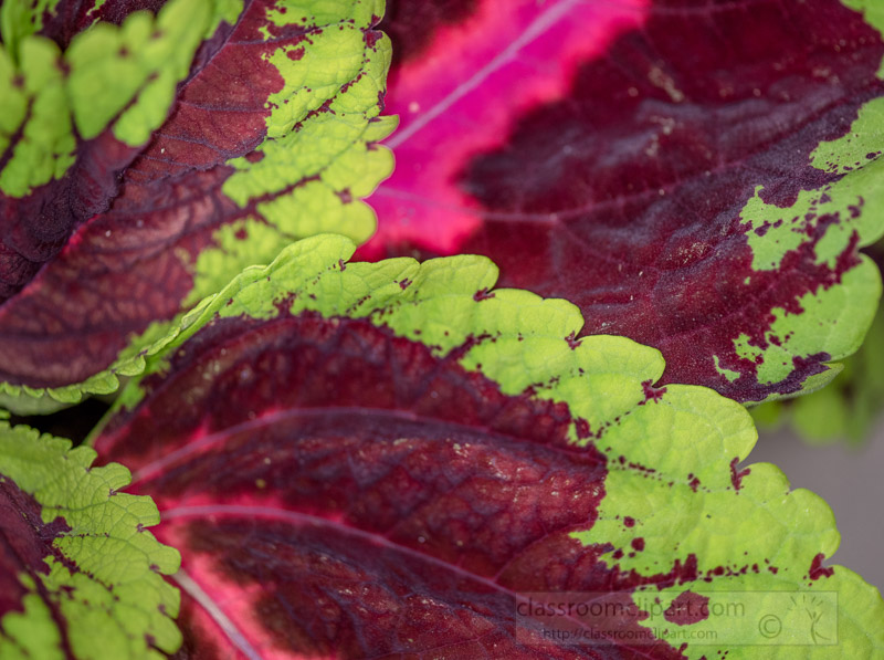 closeup-photo-of-kong-variety-coleus-plant-red-green-leaf.jpg