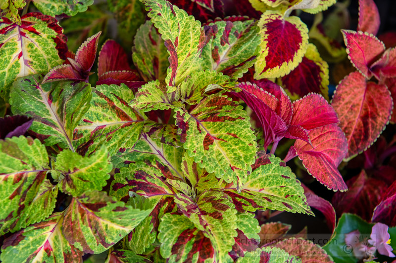 colorful-green-red-coleus-plant-photo-image-143.jpg
