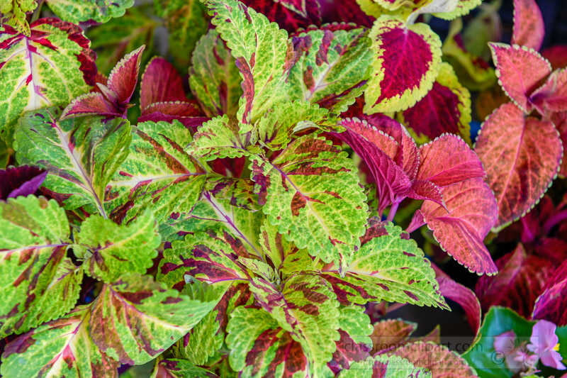 colorful-green-red-coleus-plant-photo-image-144.jpg