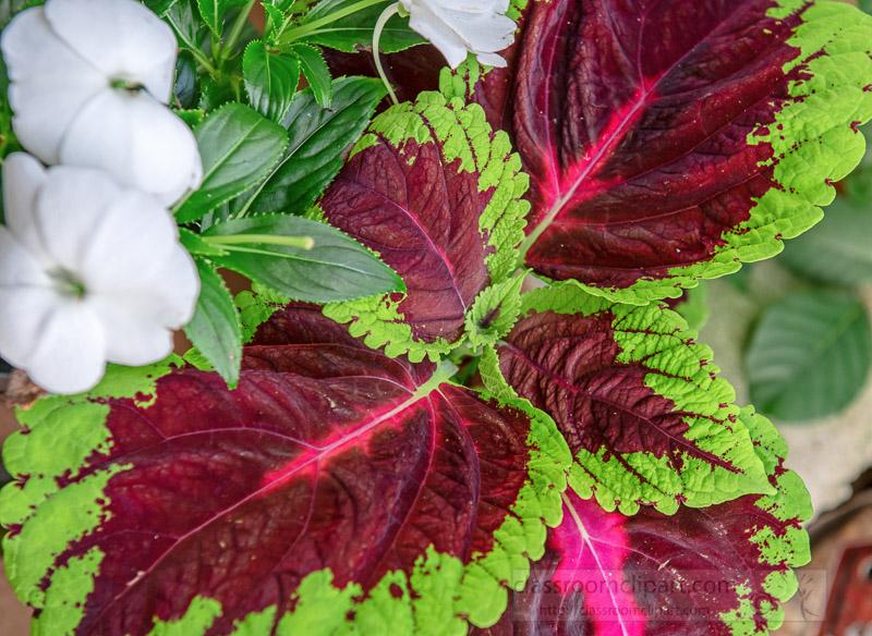 large-leaf-kong-rose-coleus-plant-photo-image-07146.jpg