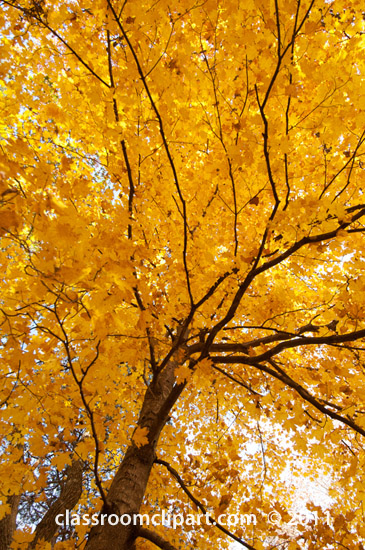 looking-up-at-tree-with-fall-color.jpg