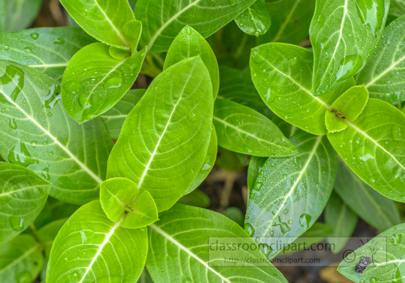 photo-smooth-articulate-vinca-plant-leaves-5359.jpg