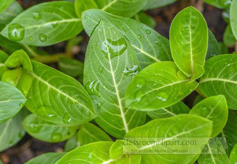 photo-smooth-articulate-vinca-plant-leaves-5364.jpg