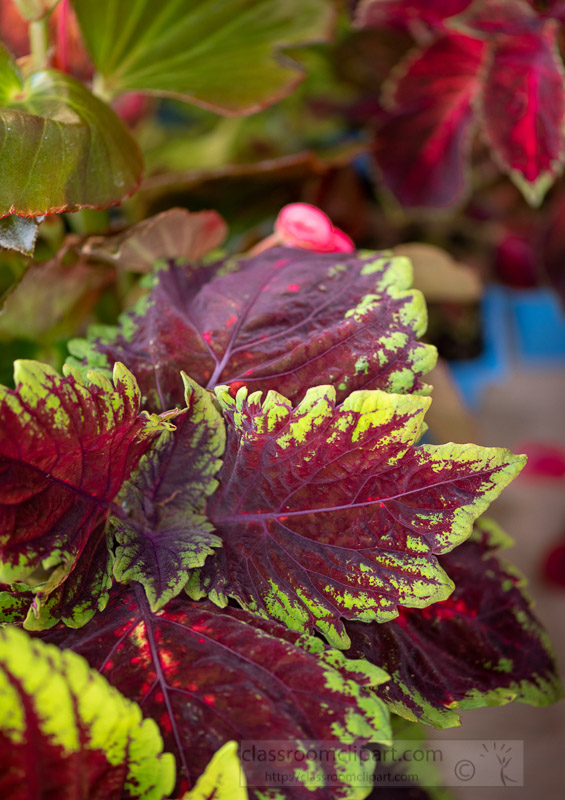 variety-of-coleus-plats-purple-green-and-red-leaves-photo-image-7211.jpg