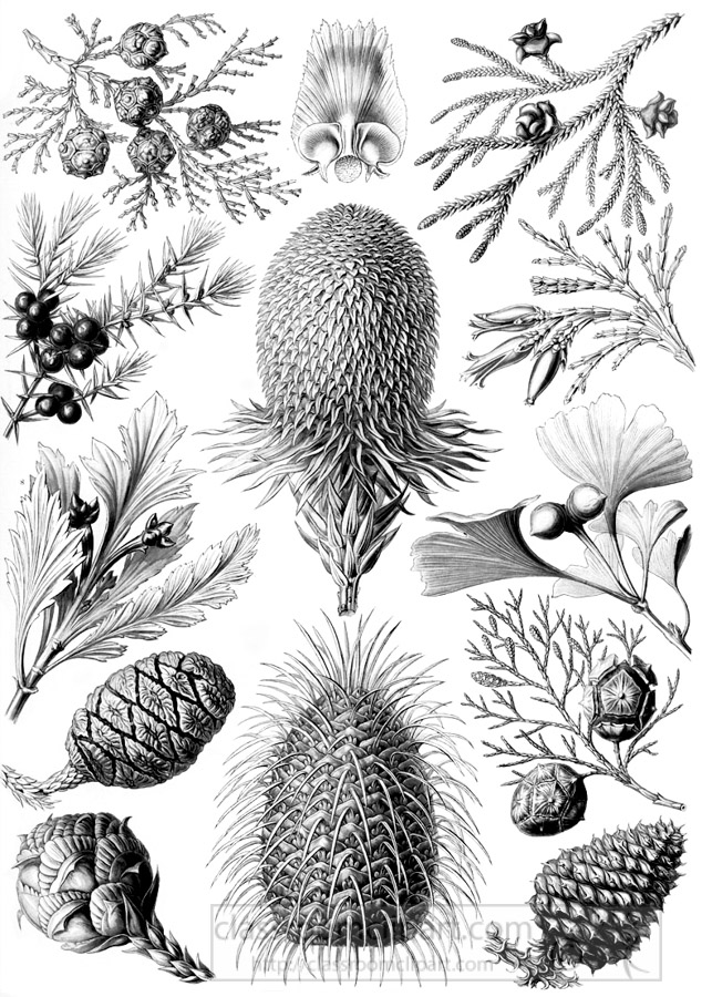 black-white-scientific-illustration-of-various-pine-cones-conifera.jpg