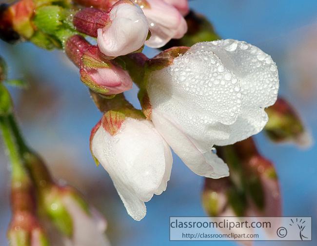 cherry_tree_blossoms_928.jpg