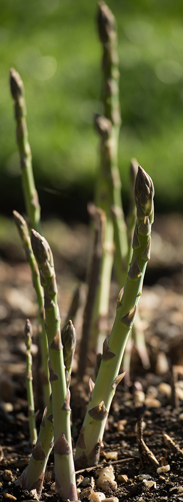asparagus-of-one-to-three-years-of-maturity.jpg