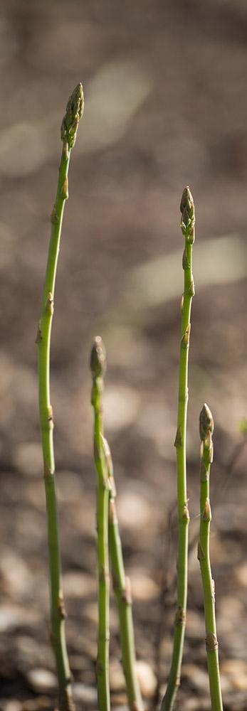 year-old-asparagus.jpg