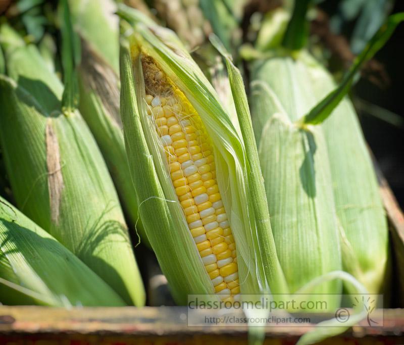 photo-freshly-picked-corn-from-farm-217E.jpg