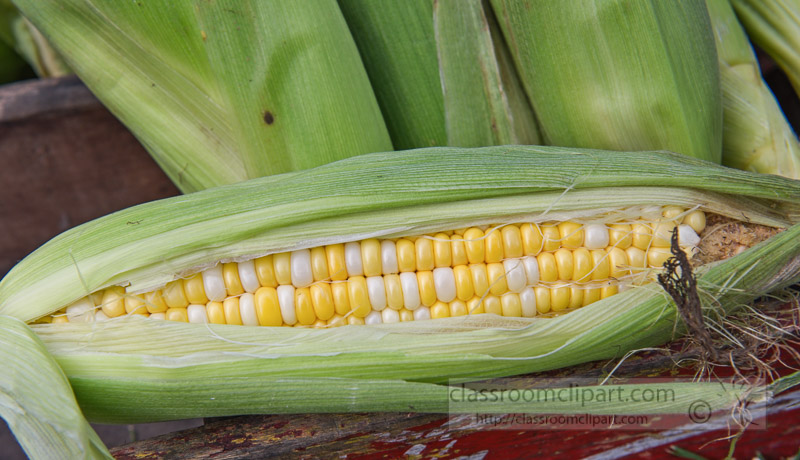 photo-freshly-picked-corn-from-farm-229.jpg