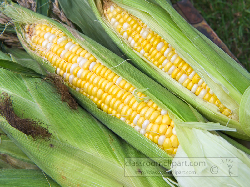photo-freshly-picked-corn-from-farm-231.jpg