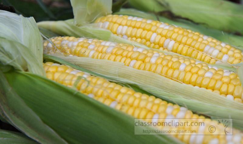 photo-freshly-picked-corn-from-farm-243.jpg